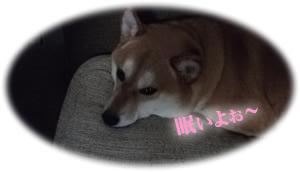 寝不足気味の柴犬